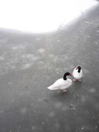 frozen river: gooses on frozen river