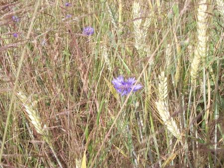 field of flower: Campo Fiore