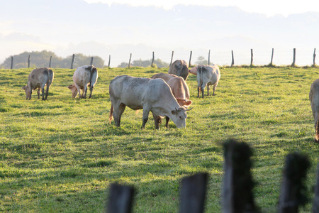 cows grazing in the Basque country Banque d'images - 87943993