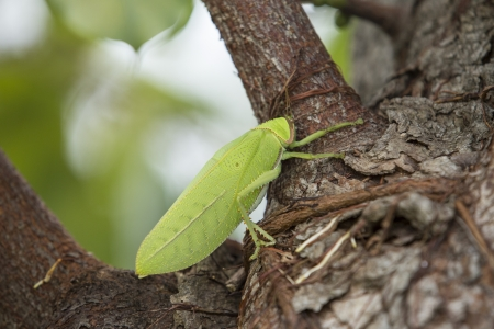 caelifera: Big Grasshopper on tree Stock Photo