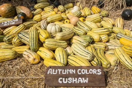 Cushaw squash at harvest