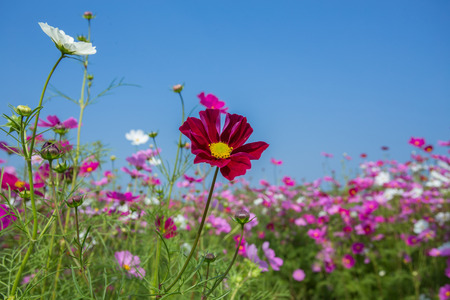 Cosmos Flower and Blue Sky photo