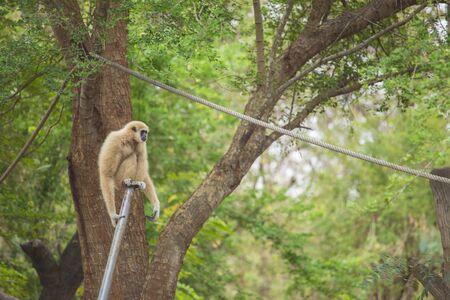 simian: gibbon