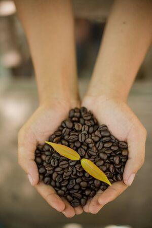 planta de cafe: Granos de caf� y plantas de caf� en las manos