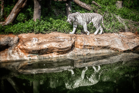 rare animal: white tiger Stock Photo