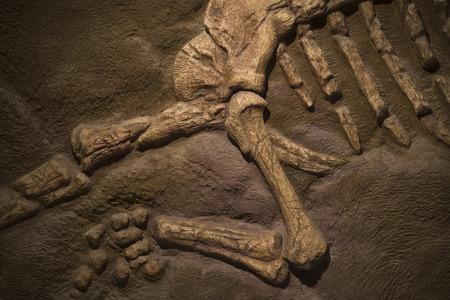 dinosaurio: F�siles de dinosaurio