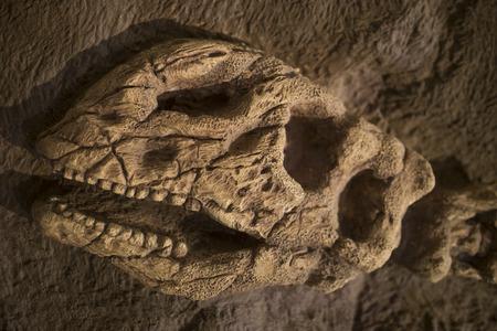 fossil record: Dinosaur fossil