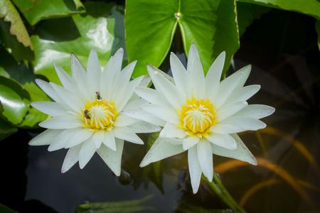 white lily: lirio blanco contra el agua azul y hojas verdes