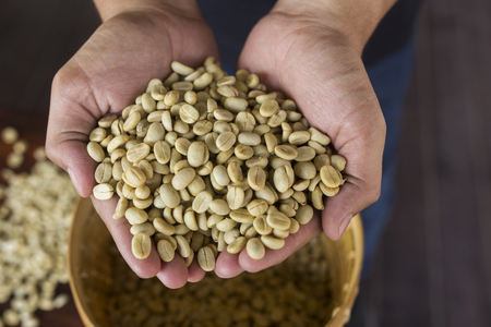unroasted: green unroasted coffee beans on hand Stock Photo
