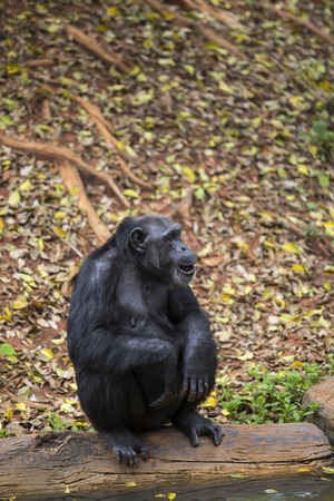 Frontal Portrait of a Young Chimpanzee