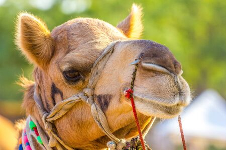 Closeup of beautiful camel head Stock Photo