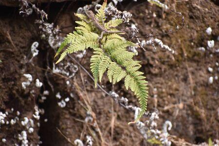 a wild reptiles sitting on a little silver fern leaf.