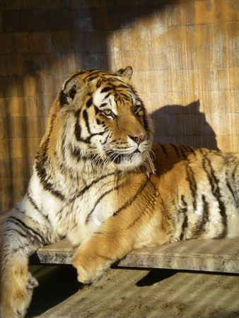 Big tiger sitting in a cage looking to the right photo