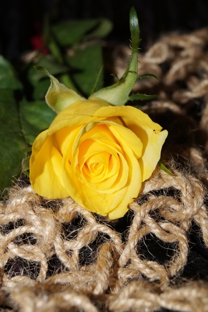 Background with yellow rose on jute texture