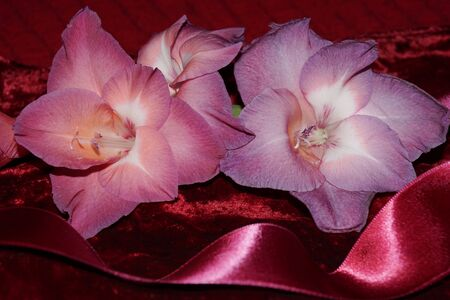 Background whit beautiful pink gladiolus and silk glossy Stock fotó