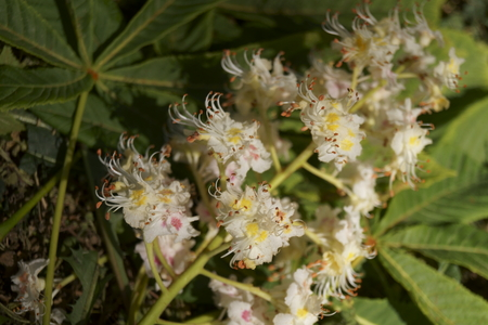 White flowers on a chestnut tree in spring (Aesculus hippocastanum)