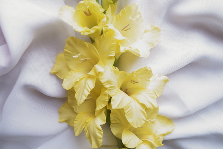 Yellow gladiola on a white background of silk