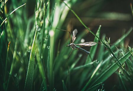 The big crane fly (Tipula maxima) resting in the grass.