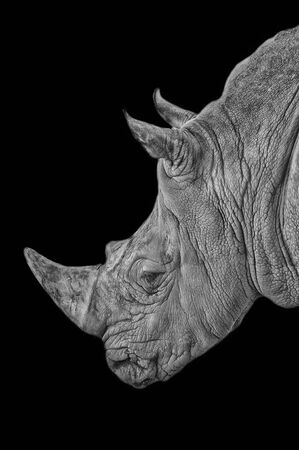 Barcelona, Spain, August 25, 2015: Profile photo of the Gray Rhino at Barcelona Zoo, in black and white. Banco de Imagens