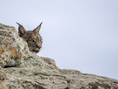 iberian: Iberian lynx hidden Stock Photo