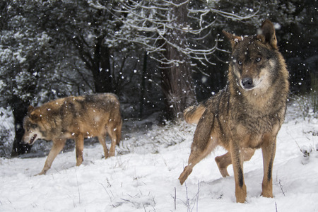 wolf couple: Couple of Iberian wolves with blue eyes  in the snow watching in the forest