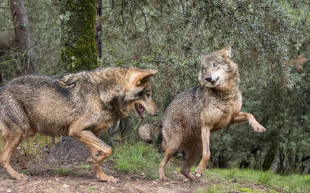 coquetry: Couple of iberian wolves flirting Stock Photo