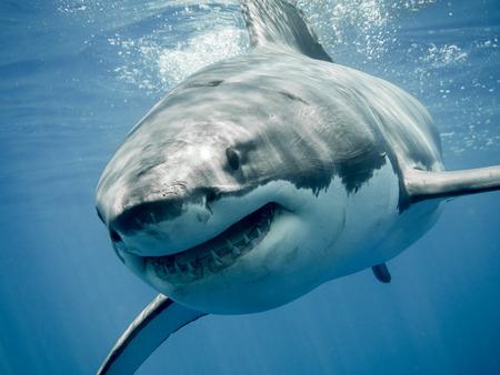"Grote witte haai ""lachend"""