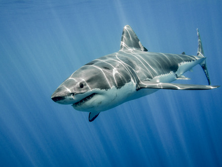 The great white shark in the big blue Stockfoto