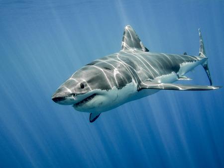 The great white shark in the big blue Archivio Fotografico