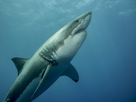 guadalupe island: Great white shark emerging at  Guadalupe Island