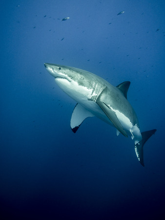 scubadiving: Majestic great white shark at Guadalupe Island