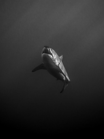 guadalupe island: Great white shark swimming alone in the dark in the Pacific Ocean at Guadalupe Island in Mexico