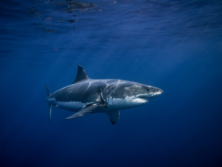 tagged: Great white shark tagged for conservation under sun rays swimming in the blue Pacific Ocean at Guadalupe Island in Mexico Stock Photo
