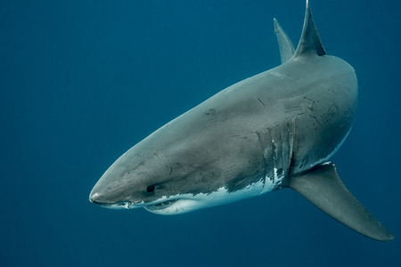 guadalupe island: Great white shark swimming in the depths of the Pacific Ocean at Guadalupe Island in Mexico