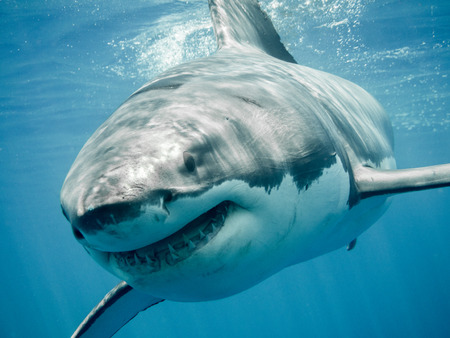 Great white shark close up front smiling and swimming in the blue Pacific Ocean at Guadalupe Island in Mexico Stockfoto