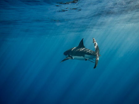 guadalupe island: Great white shark caudal fin swimming under sun rays in the blue Pacific Ocean at Guadalupe Island in Mexico Stock Photo
