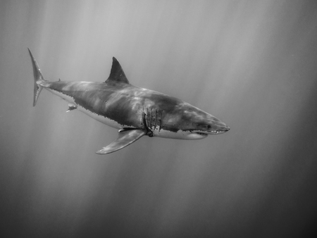 guadalupe island: Great white shark swimming under sun rays in the Pacific Ocean at Guadalupe Island in Mexico Stock Photo