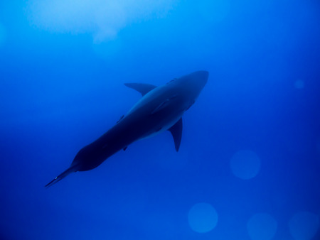 guadalupe island: Great white shark under sunlight in the blue Pacific Ocean at Guadalupe Island in Mexico Stock Photo