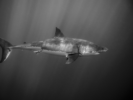 guadalupe island: Great white shark tagged for conservation under sun rays swimming in the Pacific Ocean at Guadalupe Island in Mexico Stock Photo