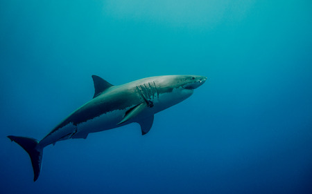 tagged: Tagged great white shark for conservation in the blue ocean