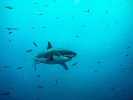 white shark: Great white shark swimming under sun rays Among small fishes in the blue Pacific Ocean at Guadalupe Island in Mexico