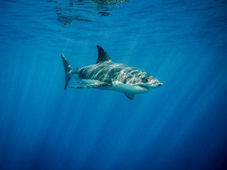 guadalupe island: Great white shark under sun rays in the blue Pacific Ocean at Guadalupe Island in Mexico