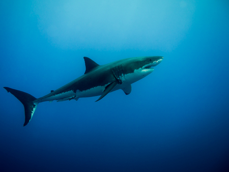 Great white shark swimming in the blue Pacific Ocean under sunlight at Guadalupe Island in Mexico