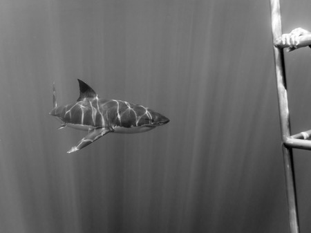 guadalupe island: Great white shark swimming to a scared scuba diver in a cage in the Pacific Ocean at Guadalupe Island in Mexico under sun rays