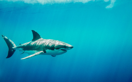 guadalupe island: Great white shark swimming in the blue Pacific Ocean at Guadalupe Island in Mexico under sun rays