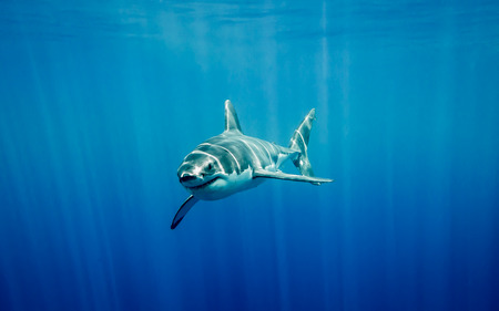 great white shark: Great white shark swimming in the blue Pacific Ocean  at Guadalupe Island in Mexico under sun rays