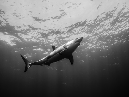 great white shark: Great white shark going up to surface in the Pacific Ocean at Guadalupe Island in Mexico Stock Photo