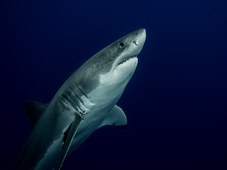 great white shark: Great white shark close up emerging from the depths in the Pacific Ocean at Guadalupe Island in Mexico Stock Photo