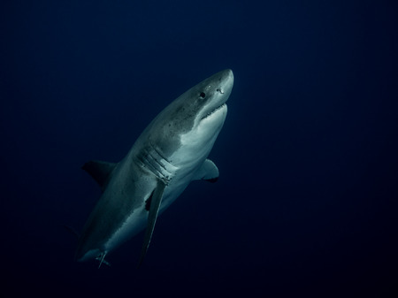 guadalupe island: Great white shark emerging from the depths in the Pacific Ocean at Guadalupe Island in Mexico Stock Photo