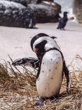 spheniscus demersus: Jackass penguin (Spheniscus demersus) grooming on the shore in South Africa Stock Photo